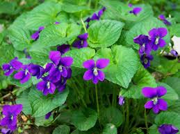 Blog15_April_Violets