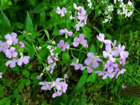 Phlox16_May_Compressed4