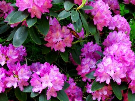 Rhodedendrum16_MayCompressed4