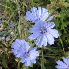 chicory2_closeview
