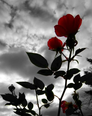image of rose against a dark sky