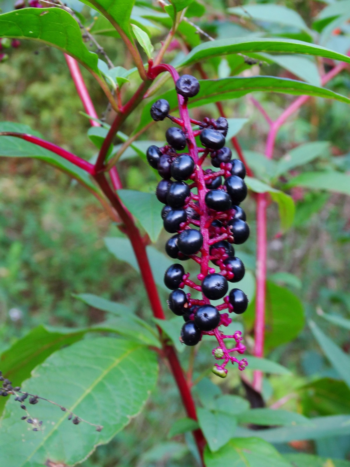 Pokeberry Cluster